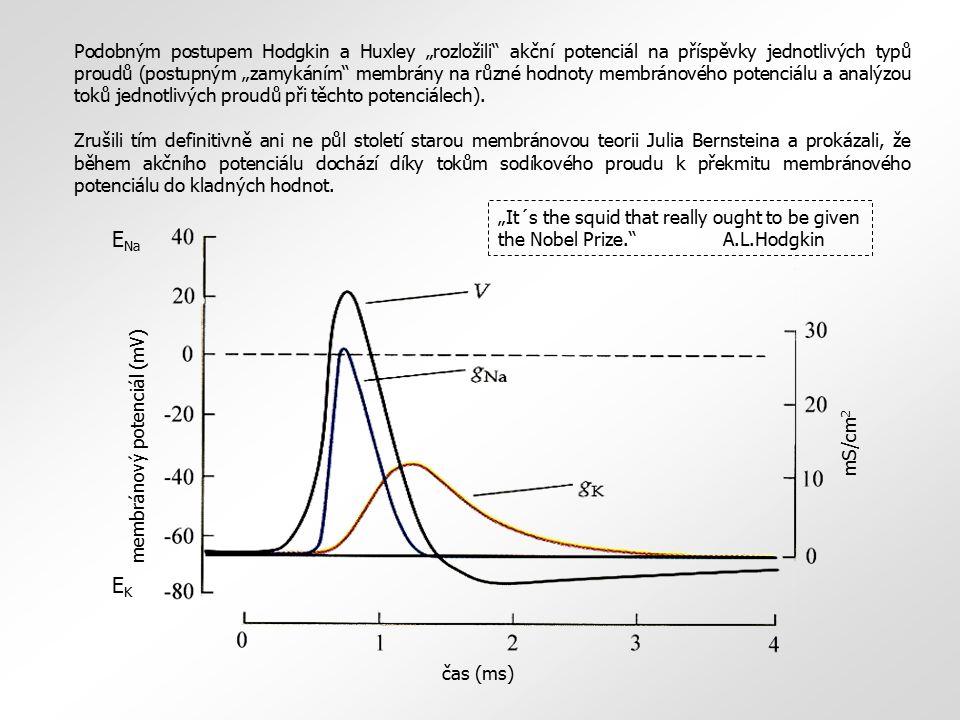 """Podobným postupem Hodgkin a Huxley """"rozložili akční potenciál na příspěvky jednotlivých typů proudů (postupným """"zamykáním membrány na různé hodnoty membránového potenciálu a analýzou toků jednotlivých proudů při těchto potenciálech)."""