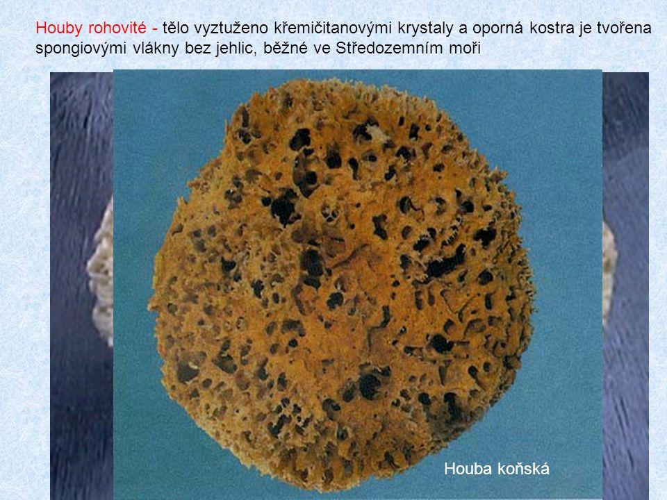 Houby rohovité - tělo vyztuženo křemičitanovými krystaly a oporná kostra je tvořena spongiovými vlákny bez jehlic, běžné ve Středozemním moři