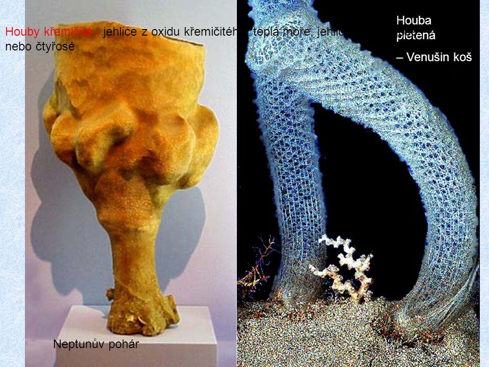 Neptunův pohár Houba pletená. – Venušin koš.