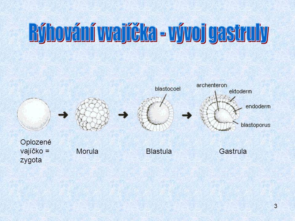 Rýhování vvajíčka - vývoj gastruly