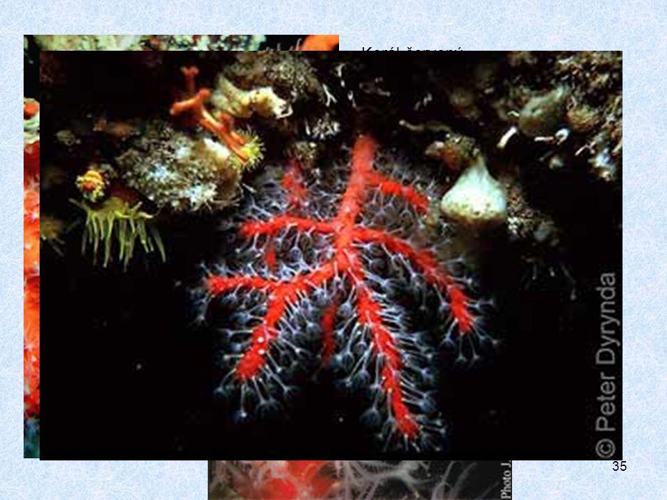 Korál červený