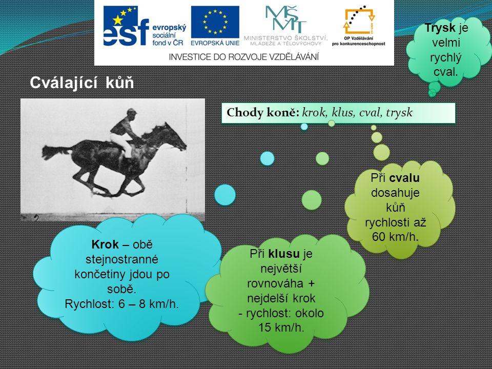 Cválající kůň Trysk je velmi rychlý cval.