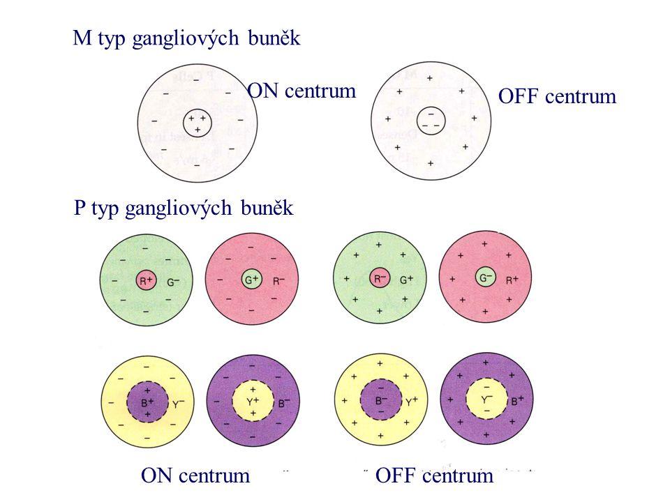 M typ gangliových buněk