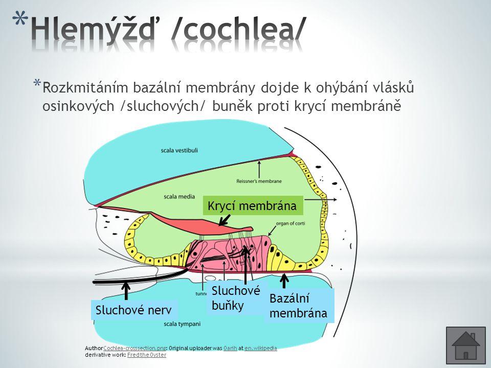 Hlemýžď /cochlea/ Rozkmitáním bazální membrány dojde k ohýbání vlásků osinkových /sluchových/ buněk proti krycí membráně.