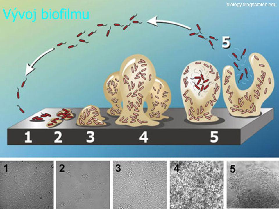 Vývoj biofilmu biology.binghamton.edu