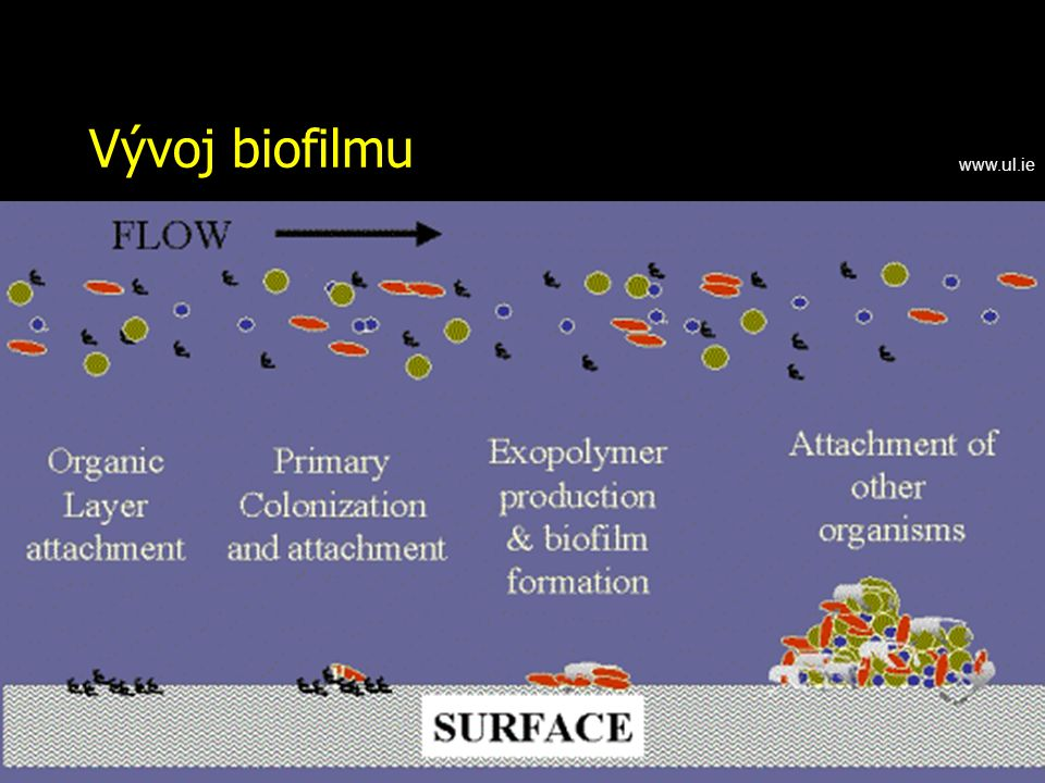 Vývoj biofilmu www.ul.ie