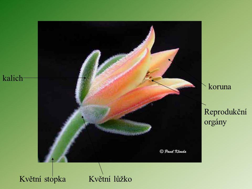 kalich koruna Reprodukční orgány Květní stopka Květní lůžko