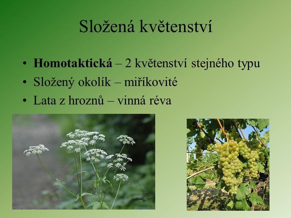 Složená květenství Homotaktická – 2 květenství stejného typu