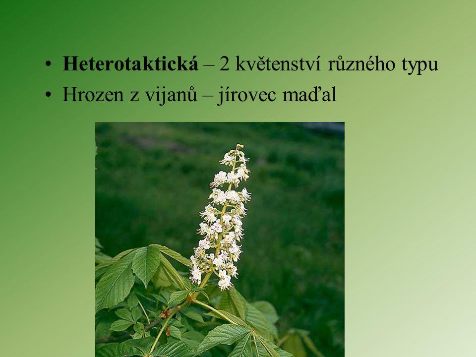 Heterotaktická – 2 květenství různého typu
