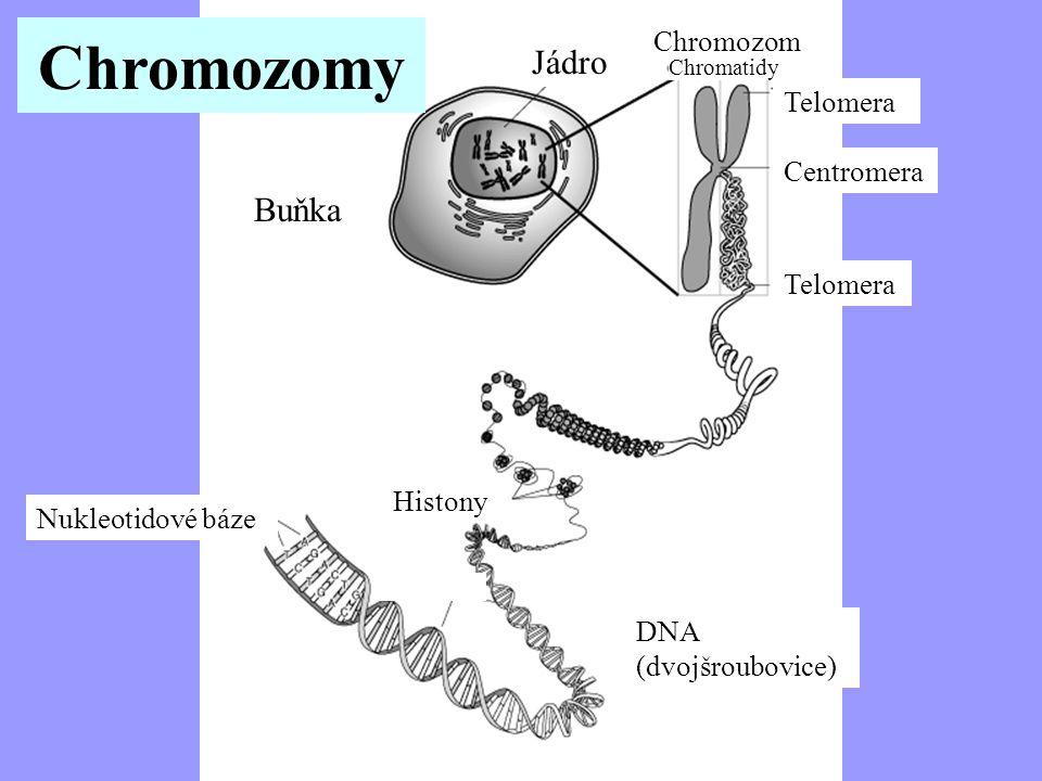 Chromozomy Chromosome Jádro Buňka Jaderné Chromozom Telomera