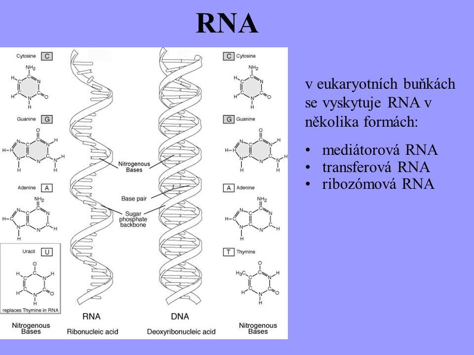 RNA v eukaryotních buňkách se vyskytuje RNA v několika formách: