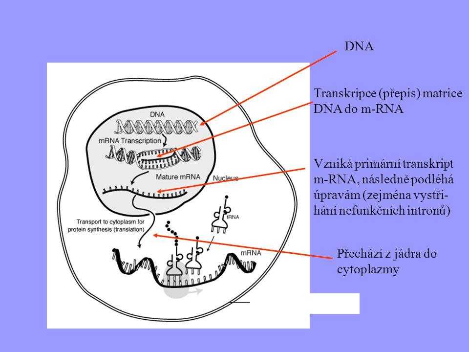DNA Transkripce (přepis) matrice DNA do m-RNA. Vzniká primární transkript m-RNA, následně podléhá úpravám (zejména vystři-hání nefunkčních intronů)