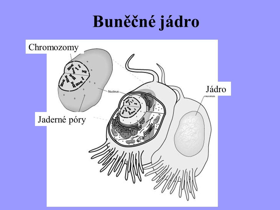 Buněčné jádro Chromozomy Jádro Jaderné póry