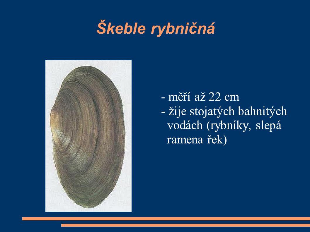 Škeble rybničná - měří až 22 cm - žije stojatých bahnitých
