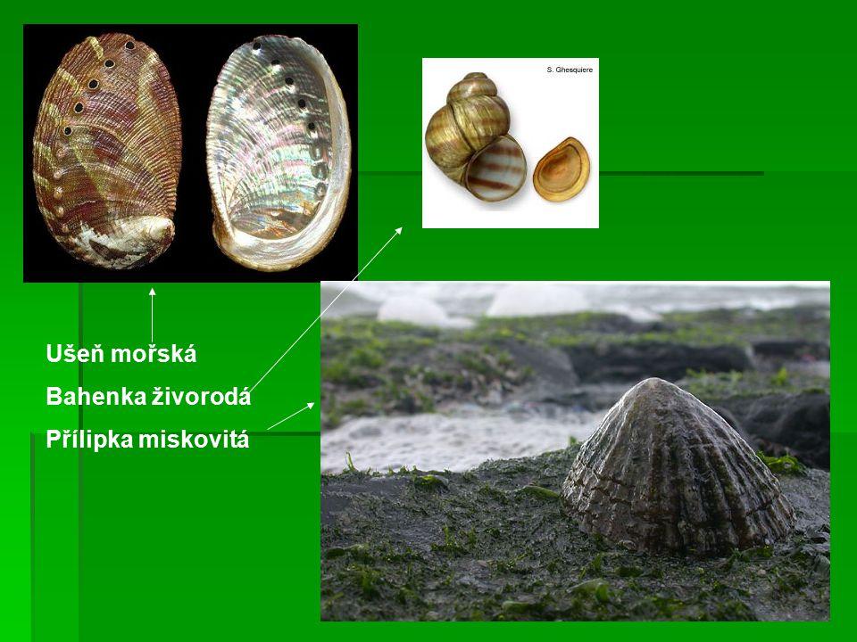 Ušeň mořská Bahenka živorodá Přílipka miskovitá