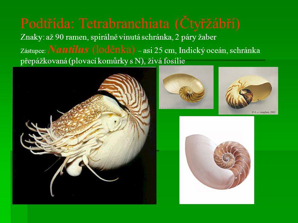 Podtřída: Tetrabranchiata (Čtyřžábří)
