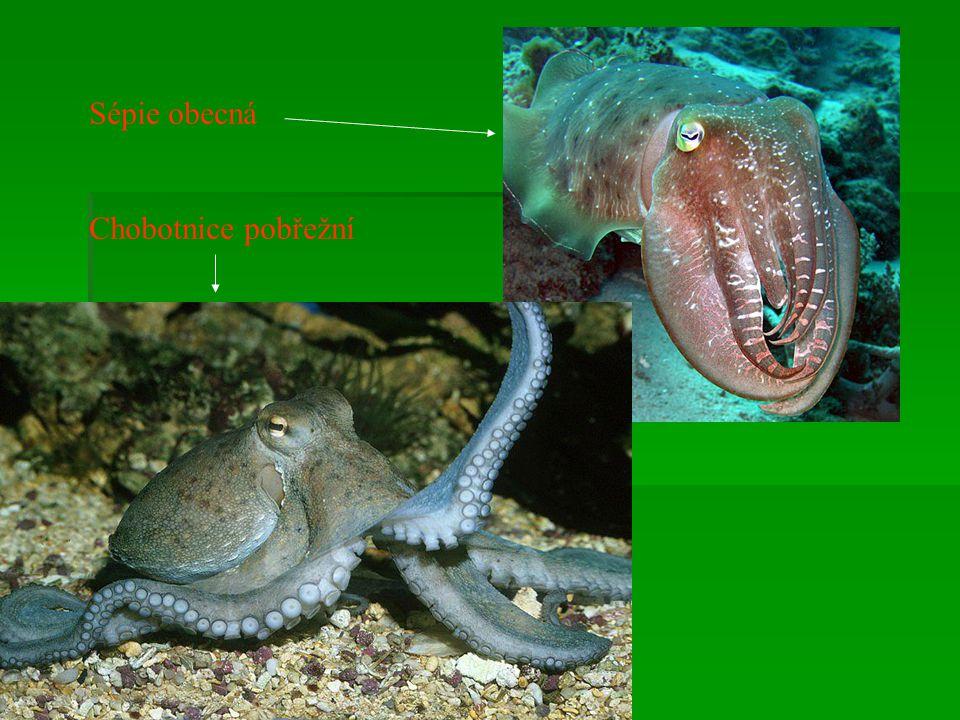 Sépie obecná Chobotnice pobřežní