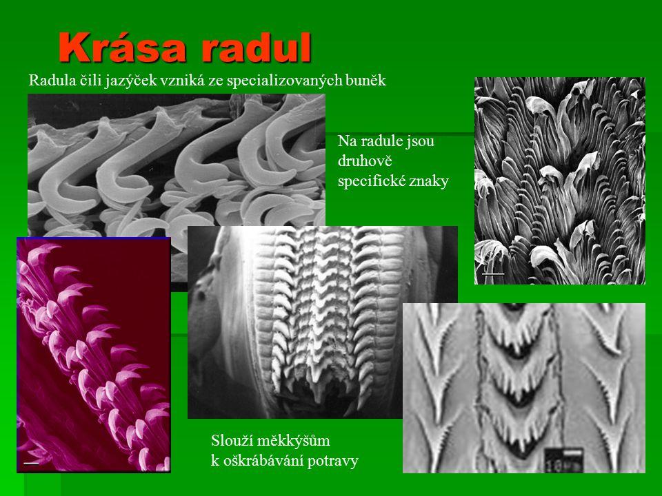 Krása radul Radula čili jazýček vzniká ze specializovaných buněk