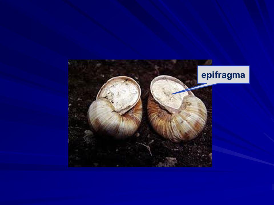 epifragma