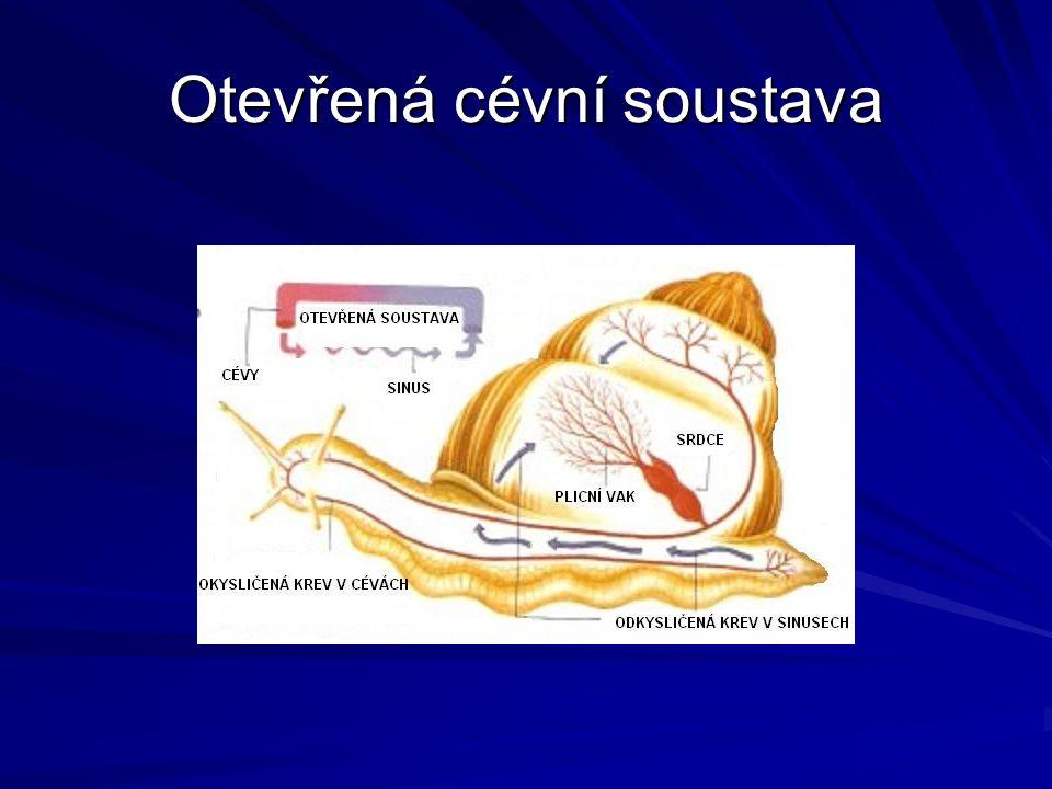Otevřená cévní soustava