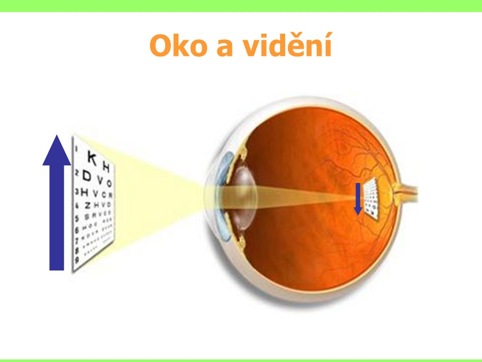 Oko a vidění