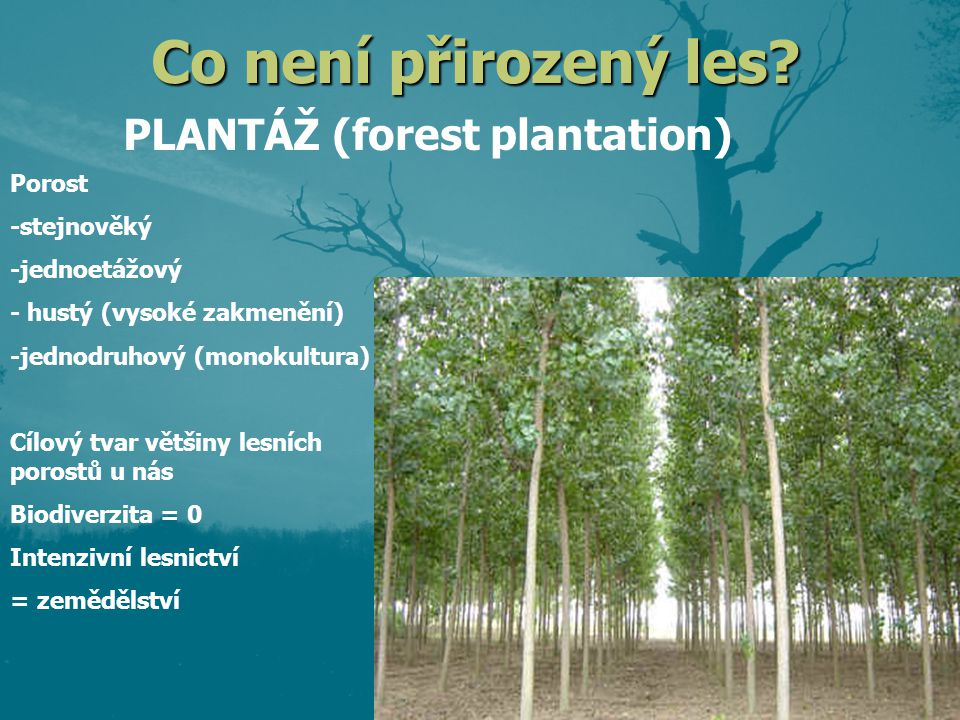 PLANTÁŽ (forest plantation)