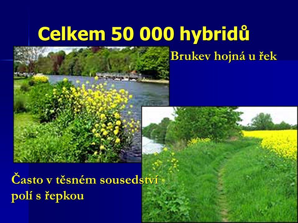 Celkem 50 000 hybridů Brukev hojná u řek Často v těsném sousedství