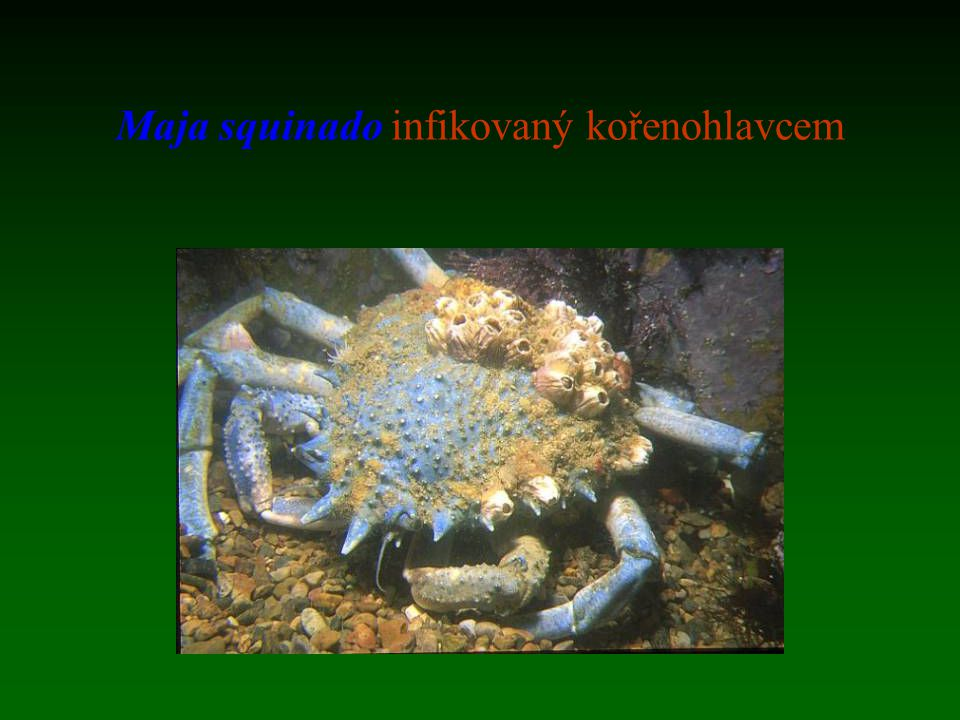 Maja squinado infikovaný kořenohlavcem