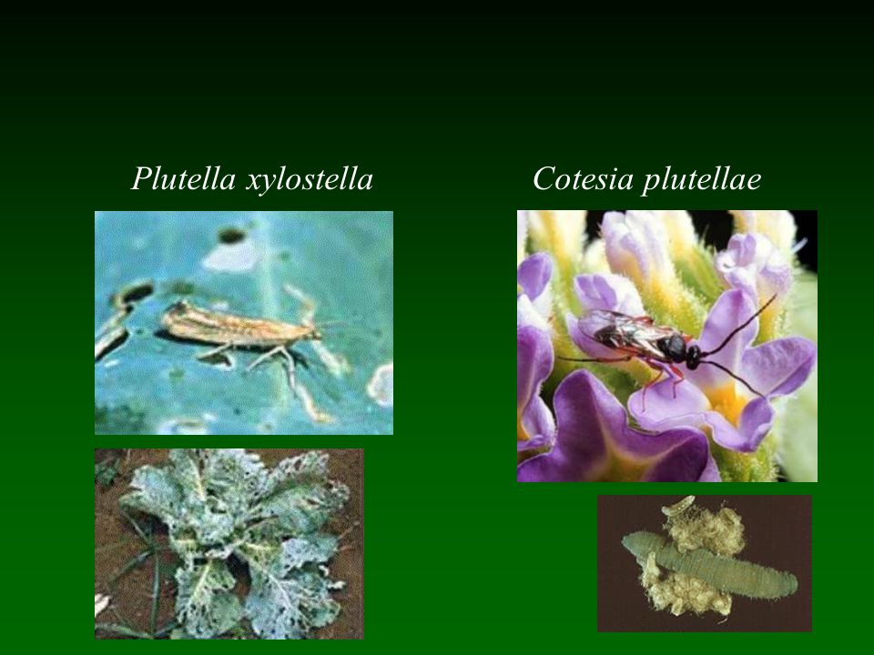 Plutella xylostella Cotesia plutellae