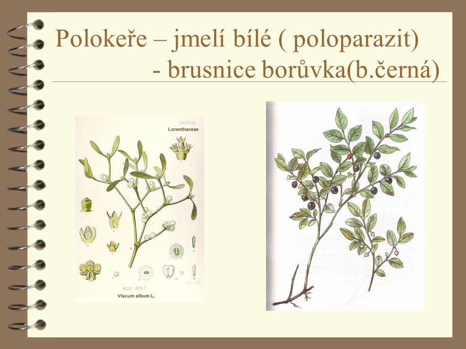 Polokeře – jmelí bílé ( poloparazit) - brusnice borůvka(b.černá)
