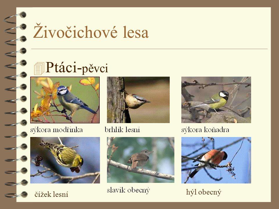 Živočichové lesa Ptáci-pěvci hýl obecný čížek lesní