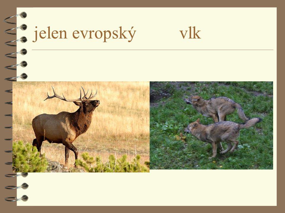 jelen evropský vlk