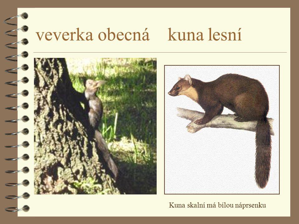 veverka obecná kuna lesní
