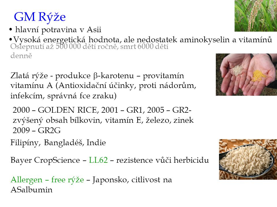 GM Rýže hlavní potravina v Asii