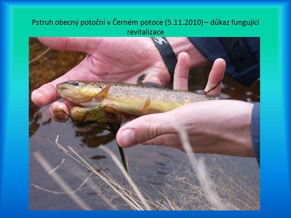 Pstruh obecný potoční v Černém potoce (5. 11