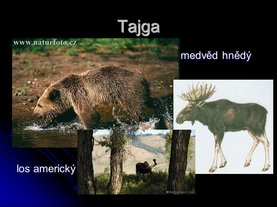 Tajga medvěd hnědý los americký