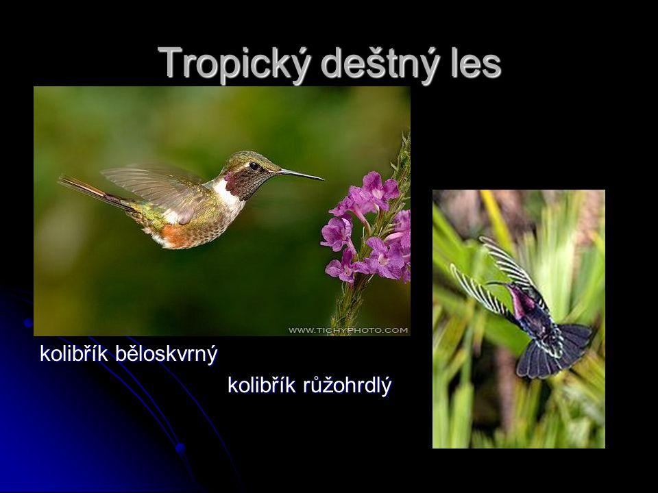 Tropický deštný les kolibřík běloskvrný kolibřík růžohrdlý