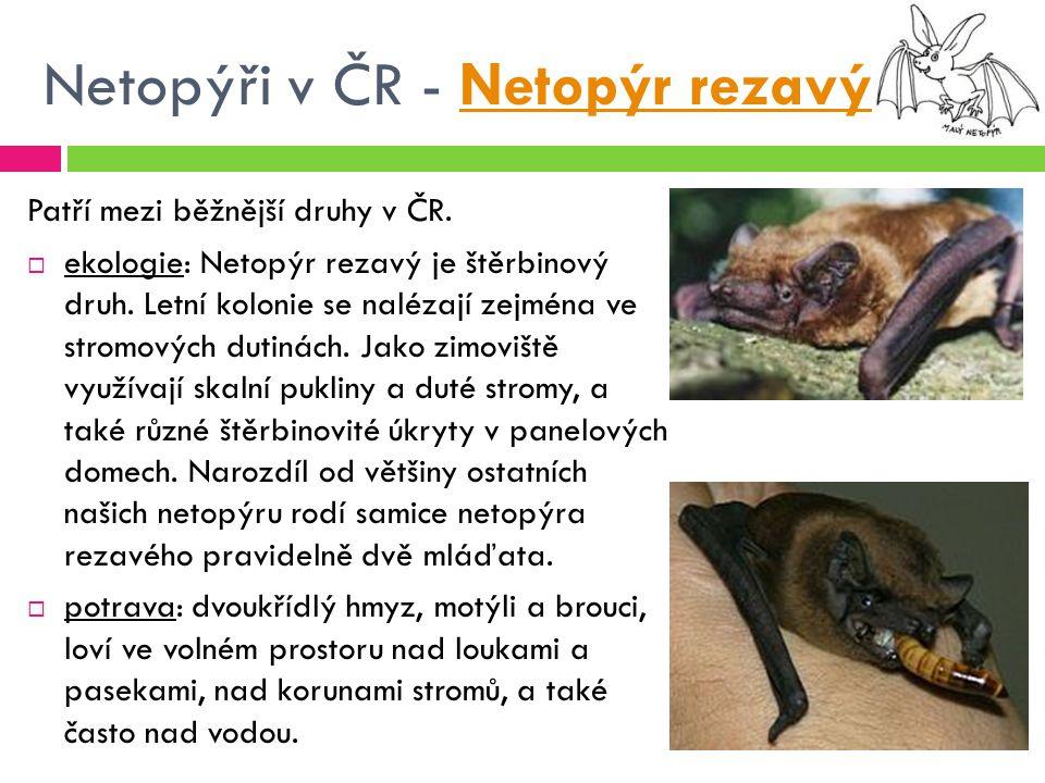 Netopýři v ČR - Netopýr rezavý