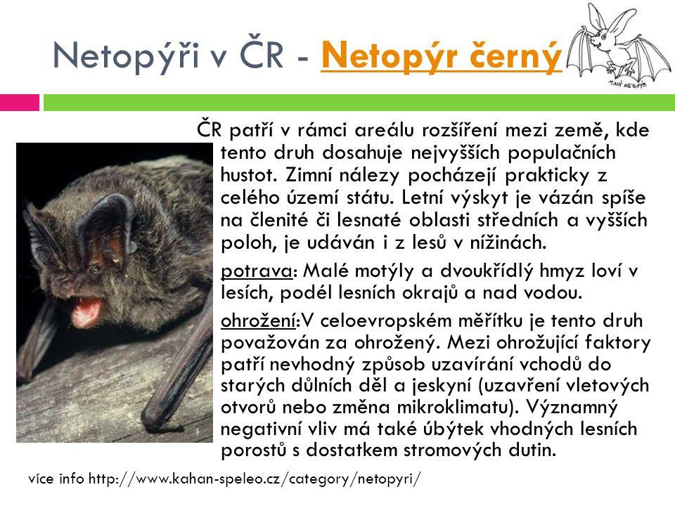 Netopýři v ČR - Netopýr černý