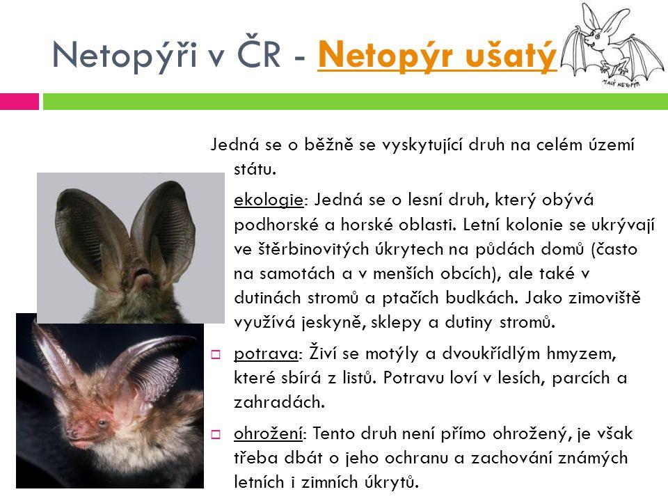Netopýři v ČR - Netopýr ušatý