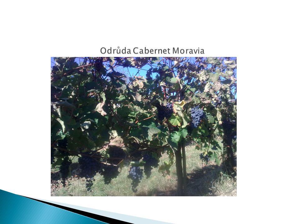 Odrůda Cabernet Moravia