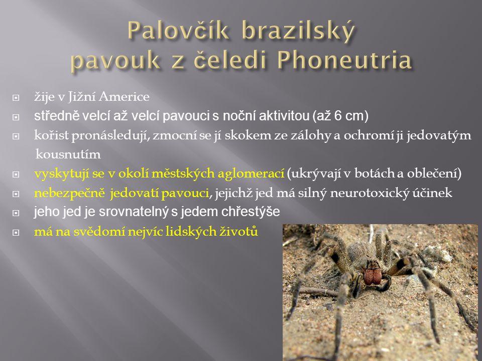 Palovčík brazilský pavouk z čeledi Phoneutria