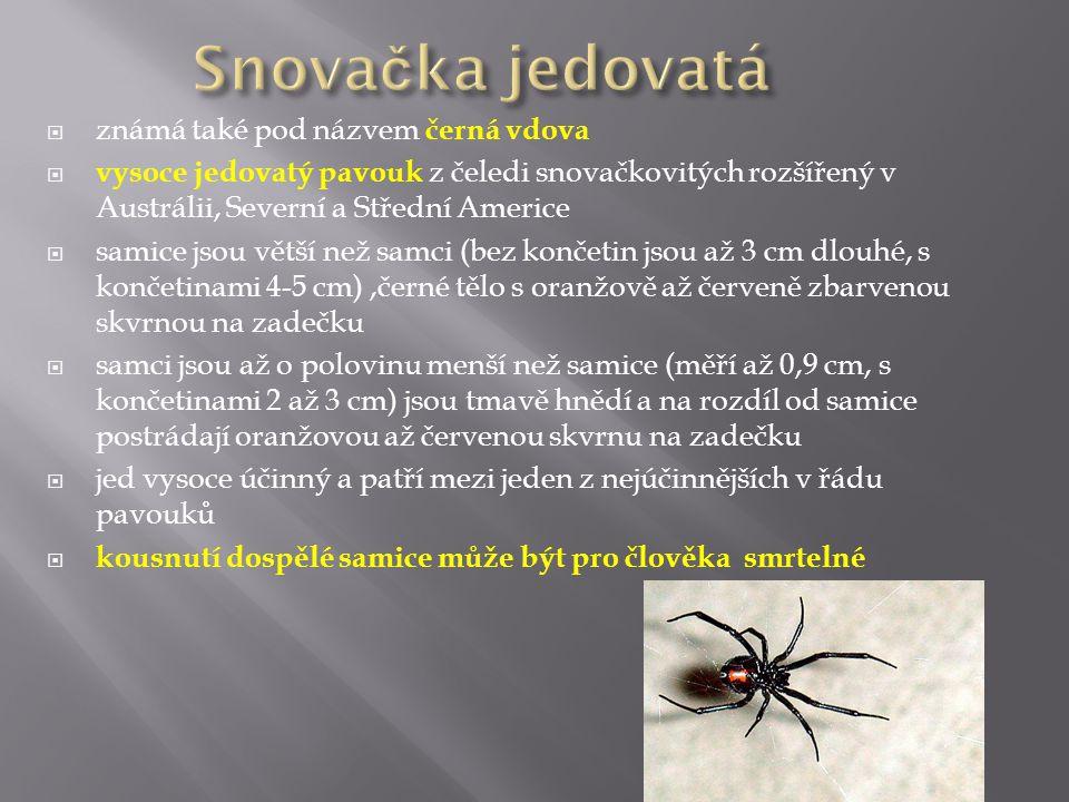Snovačka jedovatá známá také pod názvem černá vdova