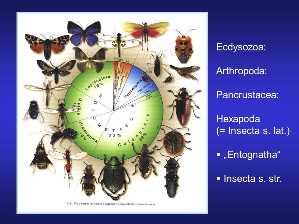 """Ecdysozoa: Arthropoda: Pancrustacea: Hexapoda (= Insecta s. lat.) """"Entognatha Insecta s. str."""
