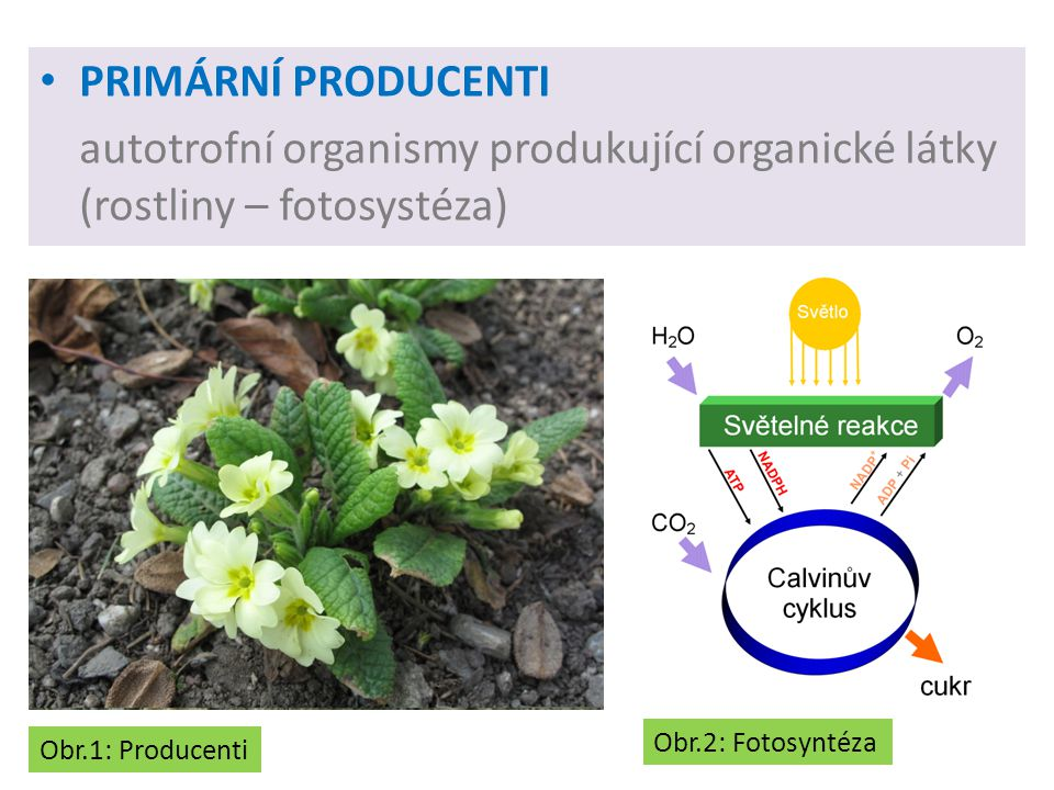 PRIMÁRNÍ PRODUCENTI autotrofní organismy produkující organické látky (rostliny – fotosystéza) Obr.2: Fotosyntéza.
