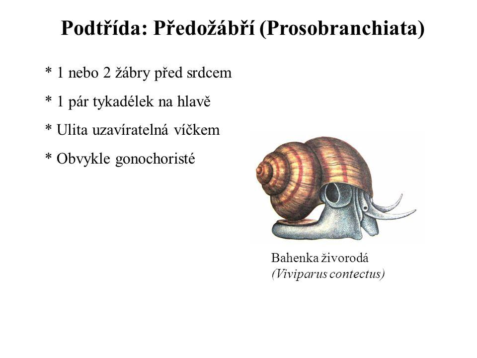 Podtřída: Předožábří (Prosobranchiata)