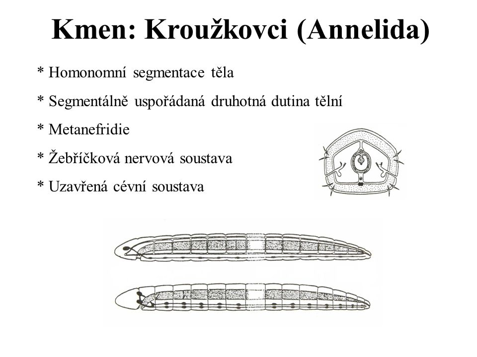 Kmen: Kroužkovci (Annelida)