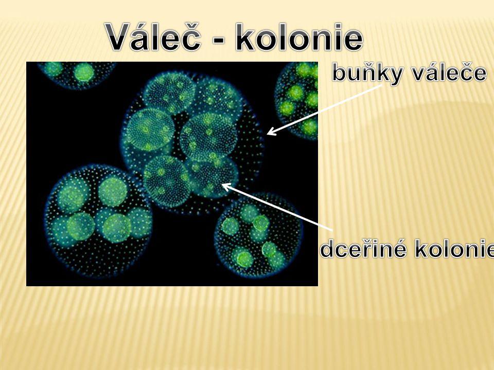 Váleč - kolonie buňky váleče dceřiné kolonie