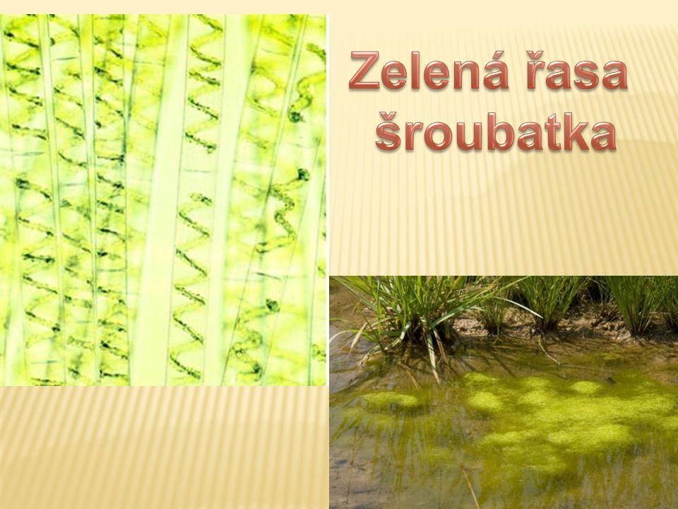 Zelená řasa šroubatka