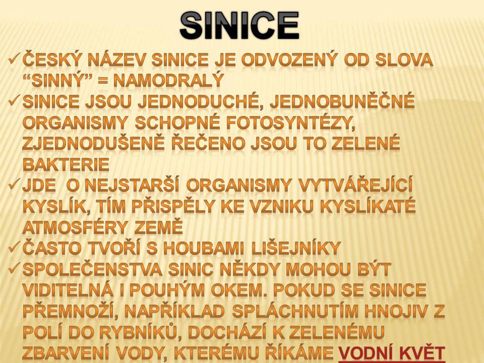 SINICE Český název sinice je odvozený od slova sinný = namodralý